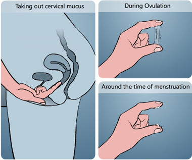 Illustration of taking out cervical mucus by inserting a finger in the vagina and analysing it between the index finger and the thumb, during ovulation the mucus is slippery and transparent, around the time of menstruation the mucus is white and sticky - Menstrupedia