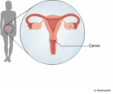 illustration of cervix - Menstrupedia