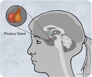 illustration of closeup of the pituitary gland situated at the base of the brain of a girl - Menstrupedia