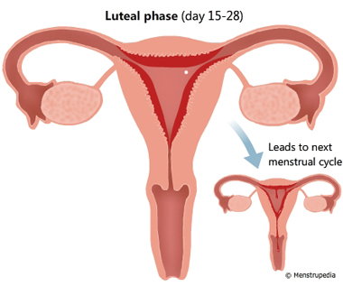 Illustration of Luteal phase lasts from day 15-28 showing a fully developed endometrium in the uterus. If the egg cell is not fertilized, this phase leads to the menstrual phase of the next cycle - Menstrupedia