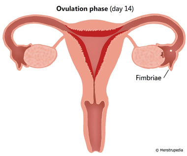 Illustration of Ovulation phase day 14 showing an egg being released from the ovary and enters the fallopian tube. Fimbriae of the fallopian tube is labeled - Menstrupedia