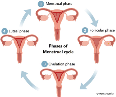 Illustration of different phases of menstrual cycle, Menstrual phase, Follicular phase, Ovulation phase, Luteal phase - Menstrupedia